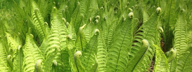 FERNS_FOR_WEBSITE_FIVRR__1